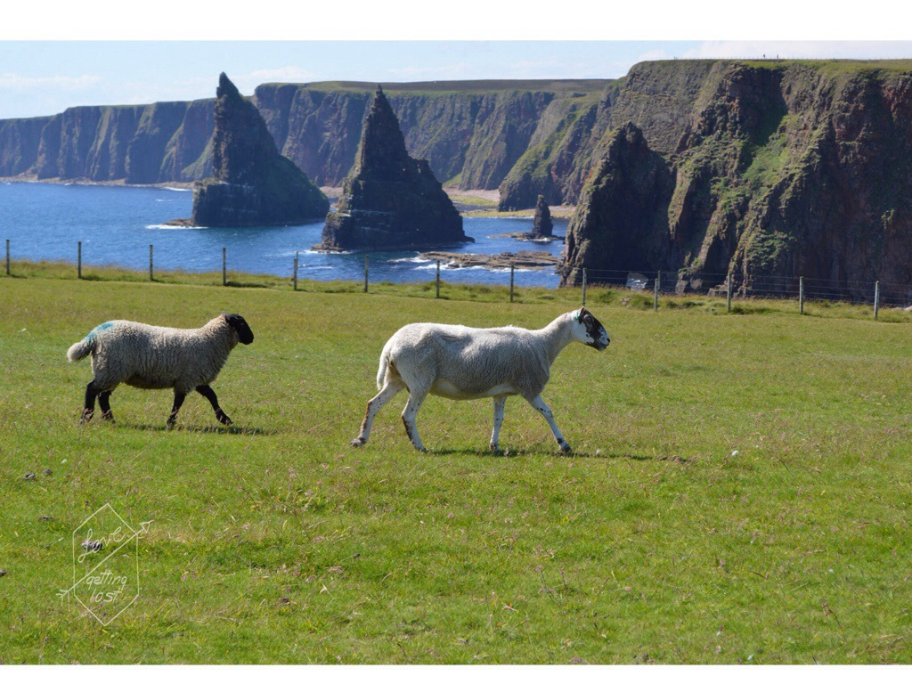 Sheep field views of Duncansby Stacks John O'Groat Scotland