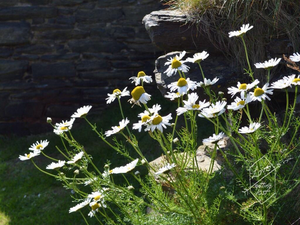 Daisies at Sinclair Girnigoe Castle, highlands, scotland, united Kingdom