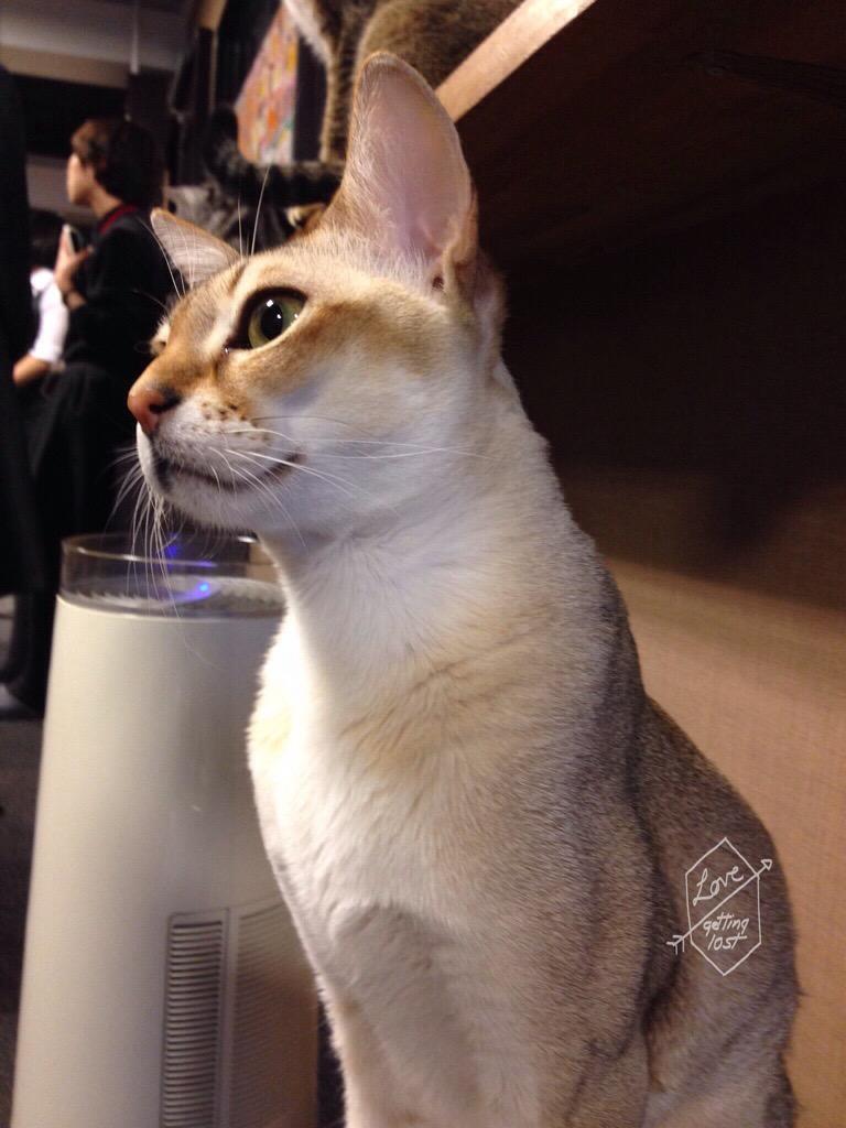Cat of the Calico Cat Cafe, Shinjuku, Tokyo, Japan